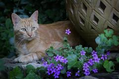 (martine_ferron) Tags: chat fleur campanule