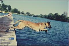 Sprung ins Nasse (domenicaviehberger) Tags: wasser wasserspiele nass hund hundeliebe sommer spontane spiel wetter see amsee kraftvoll jahreszeiten outdoor