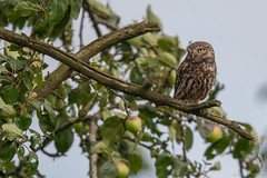 Little Owl (eric-d at gmx.net) Tags: littleowl athenenoctua steinkauz strigidae kauz eule eric
