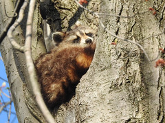 Racoon (pamfromcalgary) Tags: animal racoon pointpelee pamhawkes