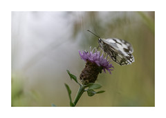 Demi-deuil-3951125A3951 (helenea-78) Tags: macro nature proxy insecte insectes papillon papillons demideuil