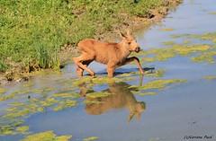 Faon d'élan européen (Passion Animaux & Photos) Tags: elan europeen faon elk fawn parc animalier saintecroix france