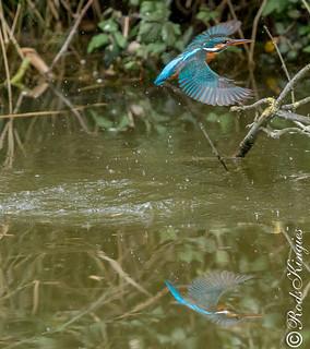 Kingfisher (Rods Kingies)