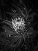 _5040810 (Demeisan) Tags: monochrome bw blackandwhite available light banksia mttomah botanical gardens blue mountains nsw olympus omd em1 mark2 microfourthirds mft 281240