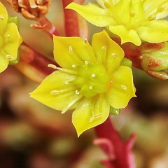 X Cremnosedum ´Little Gem´ 3779-2; Crassulaceae (3)