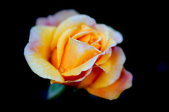 "'Happy 70th Birthday"" (judy dean) Tags: judydean 2018 birthday gift rose lensbaby velvet56"