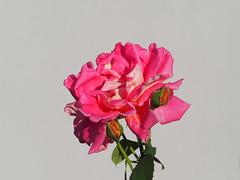 Badener Rosentage Sa.02. Juni – So. 24. Juni 2018 Doblhoffpark (arjuna_zbycho) Tags: róża rose rosas roses róże rosu rosae flower kwiat blume makrofoto macrophoto rosarium rosengarten الورد austria badenbeiwien doblhoffpark biosphaerenparkwienerwald lovers gülsevenler gül trandafir trandafiri زهرة