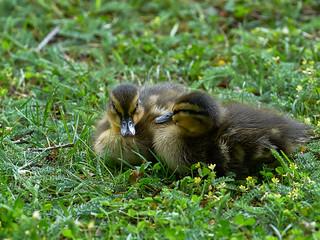 Cute Little Ducklings - Süße kleine Entenküken