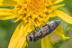 Little bug on the flower - Pequeño bicho sobre la flor (CrisGlezForte) Tags: macromondays allnatural bicho flor naturaleza