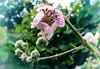 28.05.2018 Wildrose (FotoTrenz NRW) Tags: wildrose flowers blumen rose thorns plants nature gree mai frühling spring naturfoto nahaufnahme galaxya5