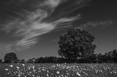 L9991994 Oxeyed Daisies in East field Burgh Castle (SaltydogJacko) Tags: daisies oaktree cloudcirrus burghcastle norfolk bw monochrome leica