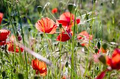 Glücksmomente -  Moments Of happiness (gerhard.boepple - https://www.instagram.com/gerhar) Tags: poppy mohn blüte flower plant blume pflanze wiese frühling springtime rot red natur landscarpe nature