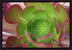 Aeonium (M E For Bees (Was Margaret Edge The Bee Girl)) Tags: aeonium plant garden growing wet raindrops green purple leaves canon succulent treehouseleek patterns
