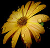 Yellow flower (STEHOUWER AND RECIO) Tags: flower bloem daisy spanish spanishdaisy margriet flora floral drops water waterdrops waterdroplets waterdruppels druppels wet druppel nat macro nature natuur garden tuin simple simpel lovely spaansemagriet erigeronkarvinskianus flowering plant asteraceae netherlands nederland holland bulaklak