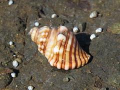 Cabestana spengleri (dhobern) Tags: 2018 australia may murramarangnationalpark nsw mollusca ranellidae cabestanaspengleri