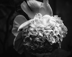 The Wedding Peony (Beth Crawford 65) Tags: white wedding peony romantic pure blackandwhite flower flora macro feminine petals dramatic captivating unique woman lady love innocent innocence heavy