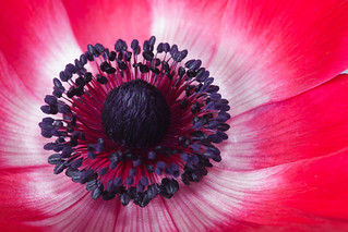 center of red anemone
