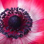 center of red anemone thumbnail