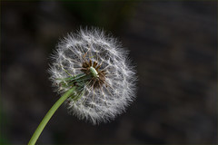 Dandelion seed head (MixPix ) Tags: seed plant weed macro dying dead detail structure close up dandelion dandylion