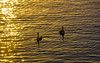 Two (dharanbro.graphy) Tags: wayzata minnesota unitedstates sunrise bird swan sunlight lake water pattern gillter light beauty morning warm orange love calm sound swim photography