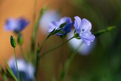 """Flax"" (helmet13) Tags: d800e raw flora flower linumusitatissimum flax blossom nature selectivefocus bokeh summer sunlight aoi peaceaward world100f platinumpeaceaward blue elitegalleryaoi bestcapturesaoi 200faves"