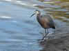 Fishing (Vern Smith) Tags: bird river mud kaiparariver whitefacedheron heron wading shore
