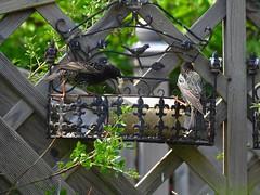 Star für Jungenfütterung (Sophia-Fatima) Tags: mygarden meingarten naturgarten gardening star starlet