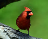 DSC_7865-6718Cardinal (laurie.mccarty) Tags: bird bokeh macro nature wildlife animal