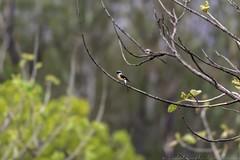 20180602-0I7A5809 (siddharthx) Tags: 7dmkii ananthagiri ananthagiriforest ananthagiriforestrange bird birdwatching birding birdsinthewild birdsofindia birdsoftelangana canon canon7dmkii cottoncarrierg3 ef100400f4556isii ef100400mmf4556lisiiusm forest goldenhour jungle landscape monsoon muddy nature rain rains telangana tree trees vikarabad wet wild wildbirds wildlife burgupalle india in longtailedshrike shrike baybackedshrike rufousbackedshrike
