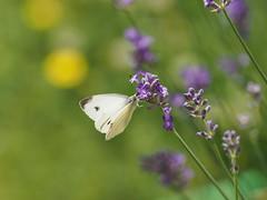 Kohlweißling am Lavendel (1elf12) Tags: kohlweisling schmetterling butterfly insekt braunschweig germany deutschland lavendel lavender tier animal
