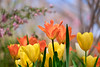 tulips at the botanic garden (johngpt) Tags: fujifilmxt1 fujinonxf55200mmf3548rlmois tulips flower flowers abqbotanicgardens places