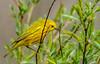 _D803802.jpg (David Hamments) Tags: bird yellowwarbler pointpeleenationalpark ontario flickrunitedaward