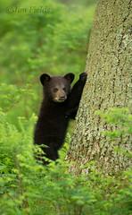Black Bear cub (Jim Fields Photography) Tags: theamericanblackbear bear blackbear bears blackbearcub bearcub ursusamericanus woodland hardwoods spring green omnivore claws shenandoahnationalpark preditorshenandoahnationalpark jimfieldsphotography wildlifephotography willife