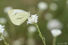 DN9A4419 (Josette Veltman) Tags: dravogel tuinen homeopatisch harde tharde gelderland garden herbs kruiden medicinaal vlinders groen natuur nature geaderd witje geaderdwitje vlinder insect