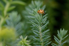 7DM26659 (chogori20) Tags: ladybug bug coccinelle animal insect garden nature