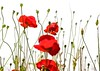 Red is the ultimate cure for sadness (Irene2727) Tags: red flowers poppies nature flora buds onwhite