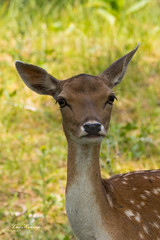 I am beautiful (Leo Kramp) Tags: 2018 whitetaleddeer damhert accessoires loweproflipside300awii natuurfotografie dieren zoogdieren flickr waterleidingduinen