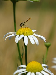 Resting (The-Beauty-Of-Nature) Tags: summer sommer june juni nature germany deutschland plants pflanzen green grün lush sunny sun sonne sonnig warm fields feld insect