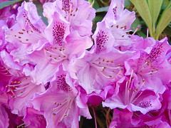 Rhododendron (stuartcroy) Tags: rhododendron flower shrubs beautiful scotland sony pink