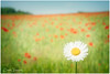 A Daisy In The Poppy Fields In The Cotswolds ( creative ) (Peter Greenway) Tags: springflowers poppyfield poppies fifield flickr poppy spring redflower springtime sunshine poppyfields summer