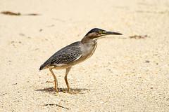 Butorides striatus (Green-backed Heron) - Seychelles, (Nick Dean1) Tags: butoridesstriatus heron greenbackedheron animalia chordata aves thewonderfulworldofbirds birdperfect birdwatcher seychelles mahe indianocean