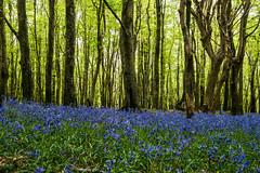 Green curtain, blue carpet (henry.ciechanowicz) Tags: wales bluebells