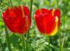 Tulips (eric robb niven) Tags: ericrobbniven scotland caputh tulips flowers spring springwatch perthshire dunkeld