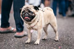 PugCrwal-23 (sweetrevenge12) Tags: pug parade crawl brewing sony pugs dog pet