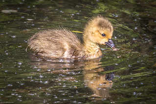 Gosling in bright water