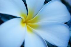 6 petalled plumeria obtusa (heartinhawaii) Tags: plumeria flower anomaly 6petals plumeriaobtusa flora tropicalflower tropical macro nature poipu kauai hawaii stilllife nikond3300