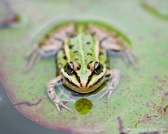 Little frog (M. Stelter) Tags: frog water animal d3300 macro