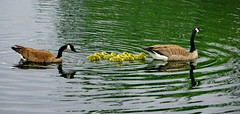 A warm welcome to our 7 new residents! (+1) (peggyhr) Tags: peggyhr goslings geese lake reflections dsc03683a bluebirdestates alberta canada carolinasfarmfriends rainbowofnaturelevel1red level1pfr thelooklevel1red super~sixbronze☆stage1☆ heartawards level1peaceawards groupecharlie01 infinitexposurel1 thelooklevel2yellow frameit~level01~ groupecharlie02 thelooklevel3orange super~six☆stage2☆silver
