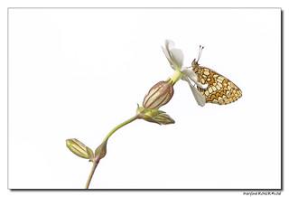 Mélitée du mélampyre ou Damier Athalie -  Melitaea athalia