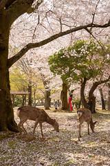 鹿と桜 / Cherry Blossoms and Shika Deer (kimtetsu) Tags: 奈良 nara 奈良公園 narakoenpark 鹿 deer shikadeer 桜 cherryblossoms 春 spring 日本 japan 野生動物 wildanimal wildlife 動物 animal